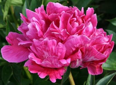 PaeoniaLactifloraClaire-Dubois